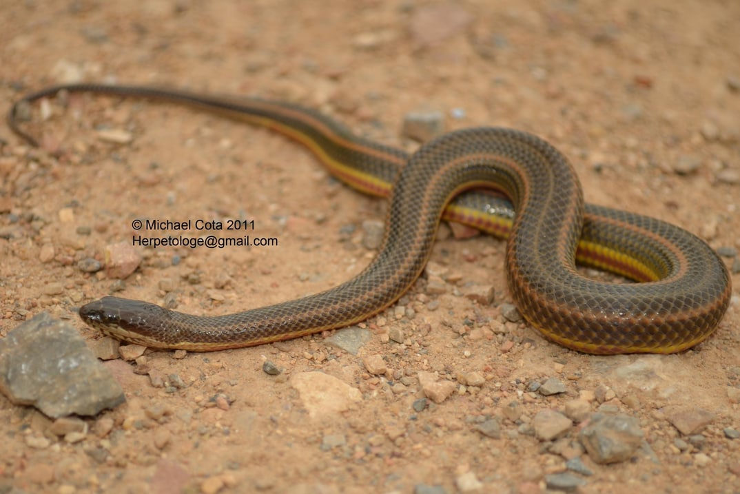 rainbow water snake enhydris enhydris งูสายรุง (Ngu Sai-rung), งูปลา (Ngu Plaa) thailand