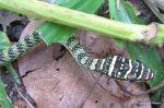 Ornate Flying Snake Chrysopelea ornata head shot