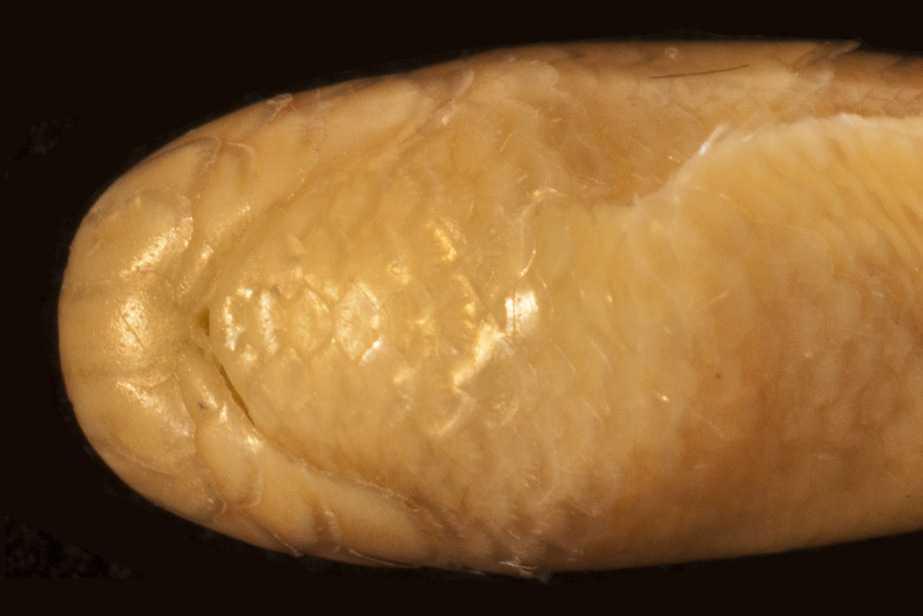 Roxane's Blind Snake Argyrophis roxaneae bangkok Thailand Typhlops Harvard MCZ R177984 holotype