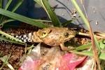 Buff Striped Keelback Amphiesma stolatum frog China