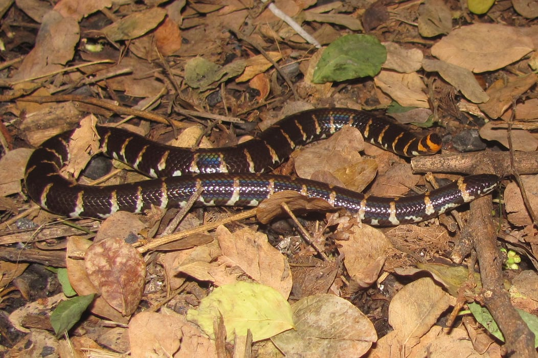 jodi's Cylindrophis jodiae ruffus red-tailed pipe snake bangkok thailand งูก้นขบลายใหญ่, ngu gonn kop lai yai