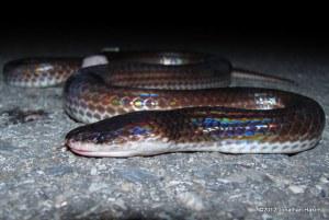 Sunbeam Snake Xenopeltis unicolor dead DOR chiang mai