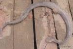 Rainbow Water Snake enhydris enhydris dor