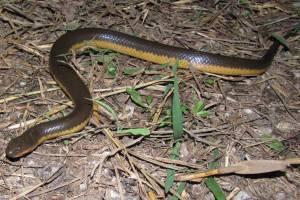 Yellow-bellied Water Snake Hypsiscopus plumbea enhydris plumbeous rice paddy snake thailand