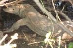 Bengal Monitor Varanus bengalensis
