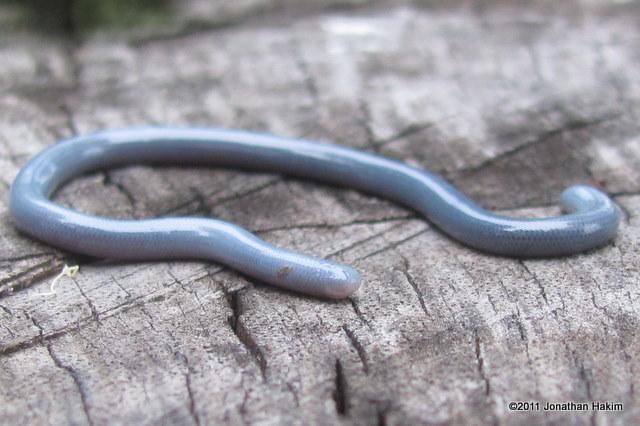 Brahminy Blind Snake (Ramphotyphlops braminus) in shed bangkok thailand indotyphlops