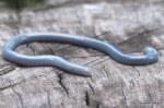 Brahminy Blind Snake (Ramphotyphlops braminus) in shed