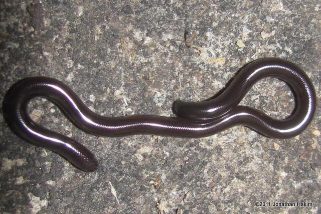 Brahminy Blind Snake (Ramphotyphlops braminus) juvenile bangkok thailand