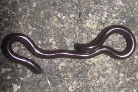 Brahminy Blind Snake (Ramphotyphlops braminus) juvenile