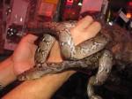 Juvenile Reticulated Python Python reticulatus
