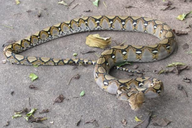 Reticulated Python Malayopython reticulatus Phra Khanong bangkok thailand