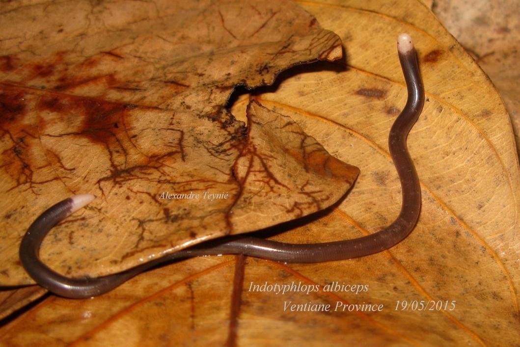 White-headed Blind Snake Indotyphlops albiceps ventiane laos งูดินหัวขาว Ngu-din Hua Kao