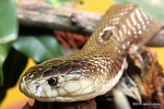 Jakob Lehner monocled cobra Naja kaouthia