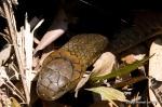 King Cobra Ophiophagus hannah Khao Yai Michael LaPalma