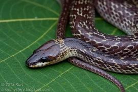 Kurt orionmystery Common Wolf Snake Malaysia 1