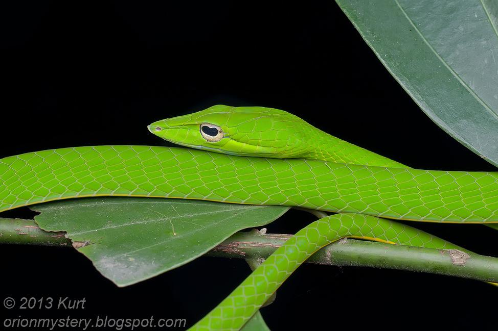 Oriental Whip Snake Ahaetulla prasina