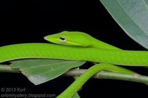 Oriental Whip Snake Asian Vine Snake Ahaetulla prasina งูเขียวหัวจิ้งจก malaysia