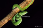 Large-eyed Pit Viper in Khao Yai (photo by Randy Ciuros)