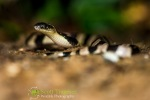 Malayan krait (Bungarus candidus)
