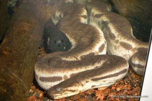 Male Javan Wart Snake Acrochordus javanicus