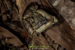 Marbled Pigmy Frog (Microhyla pulchra)