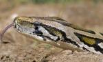Matt R. KyleBurmese Python Python bivittatus bivittatus captive