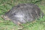 Michael Cota Giant Asian Pond Turtle Northeast Thailand Heosemys grandis