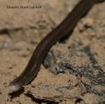 White-headed Blind Snake Mourits Horst Lovholt Ramphotyphlops albiceps