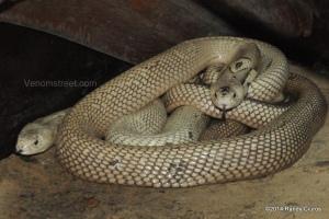 Naja kaouthia (Monocled Cobras) Randy Ciuros