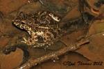 Crab-eating Frog  Fejervarya cancrivora Noel Thomas Malaysia