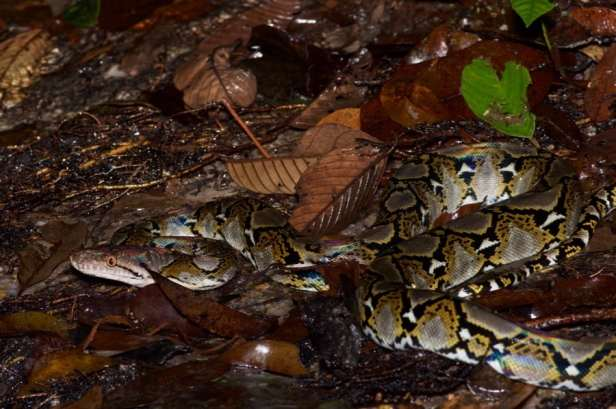 Reticulated Python Malayopython reticulatus malaysia