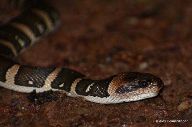 Puff-faced Water Snake Homalopsis mereljcoxi masked Water Snake buccata near Bangkok Thailand