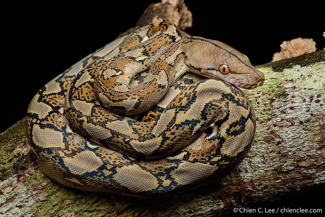 Reticulated Python Malayopython reticulatus malaysia Ngu Leuam งูเหลือม