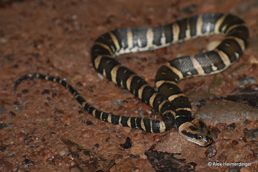 Puff-faced Water Snake Homalopsis mereljcoxi Jack's Water Snake buccata Bangkok Thailand