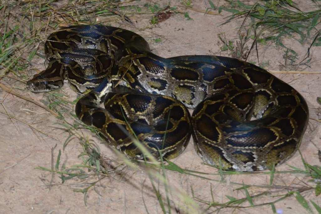 Burmese Python Python bivittatus bivittatus Nakhon Ratchasima Thailand