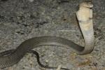 Phuket_Cobra_Show_4 King Cobra Ophiophagus hannah Randy Ciuros