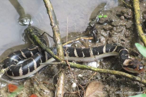 Puff-faced Water Snake Homalopsis mereljcoxi Jack's Water Snake buccata near Bangkok Thailand