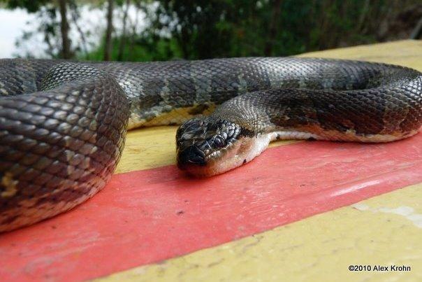 Puff-faced Water Snake Homalapsis buccata Vietnam Alex Krohn