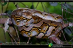 Subadult Reticulated Python Python reticulatus in tree