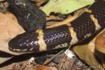 juvenile Red-tailed Pipe Snake Cylindrophis rufus head shot