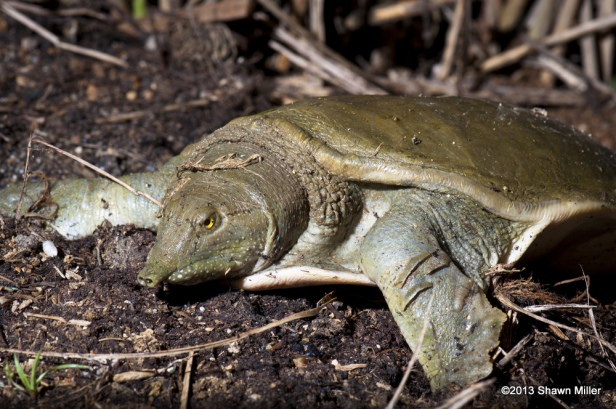 Chinese Softshell Turtle  Pelodiscus sinensis