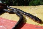 Sunbeam Snake Vietnam Xenopeltis unicolor Alex Krohn 1