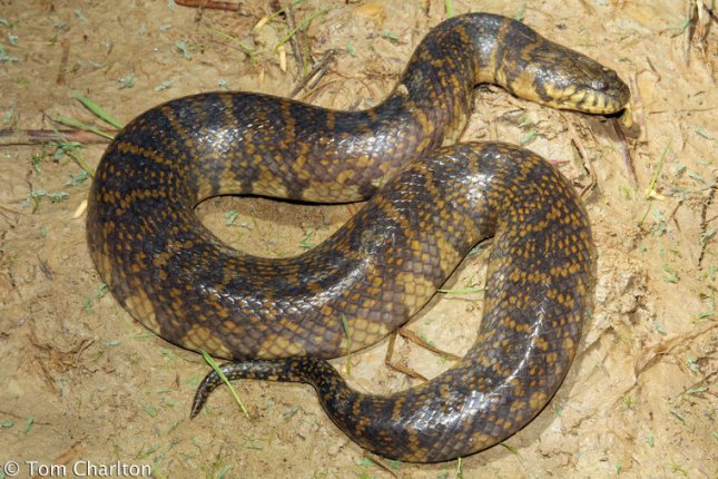 Bocourt's Water Snake  Enhydris Subsessor bocourti malaysia