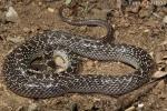 Tom Charlton Common Wolf Snake Komodo Island