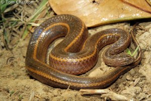 Rainbow Water Snake Enhydris enhydris malaysia