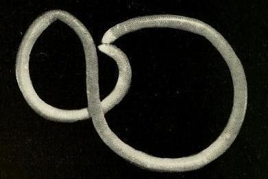 white-headed blind snake indotyphlops albiceps malaysia specimen