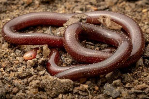 White-headed Blind Snake Indotyphlops albiceps found in hong kong