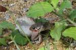 Buff Striped Keelback Amphiesma stolatum eating toad in India tamil nadu