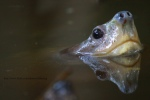 zulkifli ishak malaysia giant asian pond turtle Michael Cota Giant Asian Pond Turtle Northeast Thailand Heosemys grandis