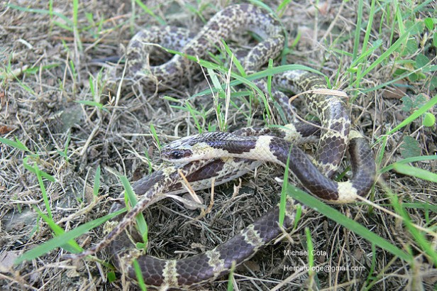 Common Bridle Snake (Dryocalamus davisonii)